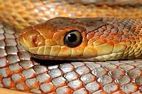 Baird´s Rat Snake (Elaphe obsoleta bairdi)