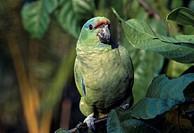 Festive Parrot (Amazona festiva), Río Negro, Amazonas State, Brazil, South America