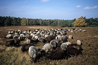 Herd of heath sheep Ovis, Undeloh, Lower Saxony, Germany, Europe