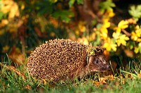 Hedgehog in autumn, Germany