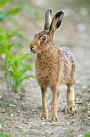 Brown Hare (Lepus europaeus) eating maize plants in arable farmland, Norfolk, UK, June