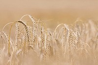 Close up of barley stalks (thumbnail)