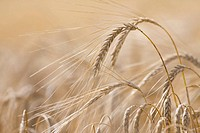 Close up of barley stalks