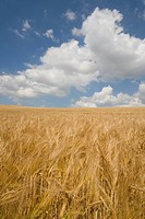 Clouds in blue sky over barley field