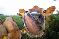 Close up of jersey cow licking lips (thumbnail)