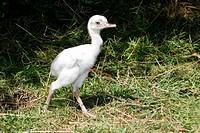 Nandu Chick