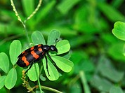 Blister beetle Mylabris pustulata on a plant. The black and red stripes on the beetle´s body warn predators that it is poisonous. Blister beetles are ...