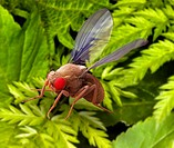 Fruit fly. Coloured scanning electron micrograph SEM of a male fruit fly Drosophila melanogaster flying past plant foliage. Its compound eyes red are ...