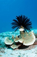 Crinoid, or featherstar, on coral. Crinoids feed by filtering food particles from the water using their feathery arms, the hairs of which pass food to...