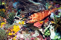 Blacktip grouper Epinephelus fasciatus on a reef. This fish, also known as the red_barred rockcod, grows up to 40 centimetres in length and is commonl...