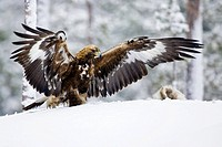 Golden eagle Aquila chrysaetos standing on snowy ground in front of a hare it has caught. Golden eagles are found in wilderness and mountainous areas ...