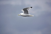 Black_legged kittiwake Rissa tridactyla in flight. This small gull is found in the Arctic, North Atlantic and North Pacific Oceans. It lives on the op...