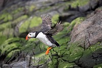 Atlantic puffin Fratercula arctica in flight. Photographed in the Farne Islands, UK.