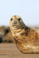 Grey seal pup Halichoerus grypus. The grey seal gives birth to a single pup after a gestation of just under a year. A pup is nursed for up to two mont...