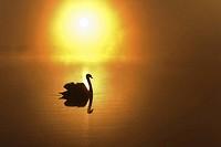 Mute Swan (Cygnus olor), sunrise