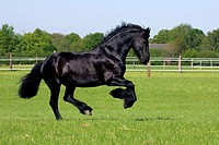 Galloping frisian horse - gelding (Equus przewalskii f. caballus)