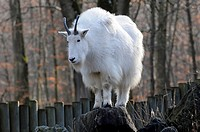 Rocky Mountain Goat Oreamnos americanus at a zoo in Bavaria, Germany, Europe