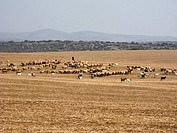 Bedouin sheep herder hills of lachish. Israel.