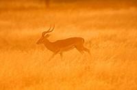 Tanzania, Tarangire National Park, impala Aepyceros melampus