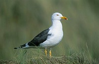 Heringsmöwe Larus fuscus Lesser Black_backed Gull • Texel, Holland, Niederlande, Netherlands