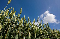 Close up of wheat under clouds in blue sky