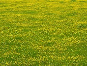 Field of yellow buttercup flowers (thumbnail)