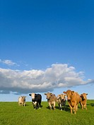 Cows standing in field under clouds in blue sky