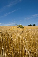 Combine in barley field