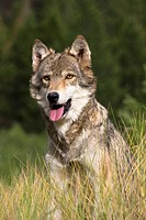 Close Up Portrait of an American Gray Wolf emerging from the woodlands
