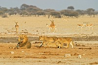 Lion (Panthera leo) with cubs and a captured springbok (Antidorcas marsupialis), Nxai Pan, Makgadikgadi Pans National Park, Botswana, Africa