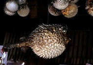 VNM, Vietnam, Southern Central Coast, Nha Trang: the central market or Cho Dam-market, dried pufferfish.