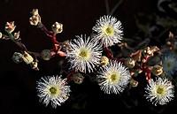 Desert flowers, Sossusvlei, Namib-Naukluft National Park, Namibia, Africa
