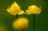 Globe_flower Trollius europaeus blossoms, Norway, Scandinavia, Europe