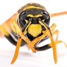 Yellow Paper Wasp Polistes dominulus