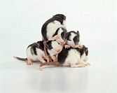 Young Fancy Rats, pet rats Rattus norvegicus domesticus, several days old
