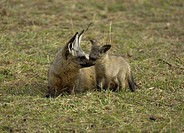 Bat-eared Fox (Otocyon megalotis), pup with female, Massai Mara, Kenya