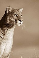 Close up Expression of a Mountain Lion sepia