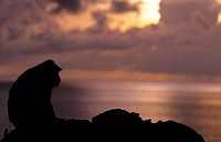 monkey at the sunset, bali, indonesia