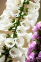 White and Purple Foxglove Flower. Digitalis purpurea. April 2008. Maryland, USA.