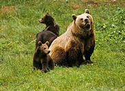 Brown bear, Ursus arctos, female with cub
