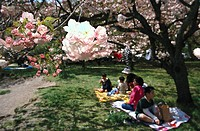 Cherry blossom celebration, Imperial Palace Park, Sakura, Kyoto, Japan
