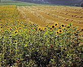 Sunflowers Helianthus