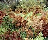 Ferns, autumnal forest soil