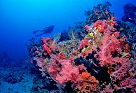 Soft coral Dendronephthya.