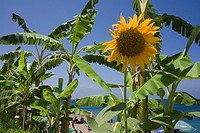 Close up of a sunflower on the beach, Takkas beach near the Baths of Aphrodite, near Polis, South Cyprus