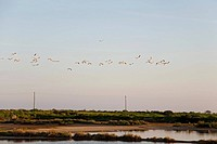 Flamingos above the salt fields, lakes near Olhao, Algarve, South Portugal, Portugal