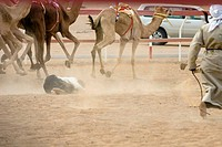Arabic men running away at the start of a camel race, one man has fallen down, Rash al Khaimah, United Arab Emirates