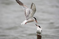Common tern Sterna hirundo feeding their squab while flying