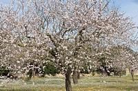 Blossoming Almond Trees, Near Randa, Mallorca, Balearic Islands, Spain