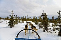 Ride with Dog Sledge through snowy landscape, Husky, Rovaniemi, Lapland, Finland, Europe